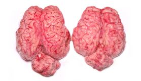 Real Brains. Two real brains, isolated on a white background Stock Photos