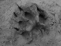 Real cat footprint Stock Images