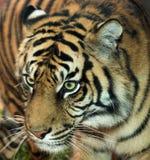 Real close tiger Royalty Free Stock Photo