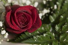 Real czerwieni róży Pojedynczego zbliżenia valentine romantyczny ślubny położenie z wodnymi kropelkami Obrazy Stock
