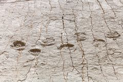 Real dinosaur footprint imprinted in the rock. Nacional Park in Sucre, Bolivia. Stock photo stock images