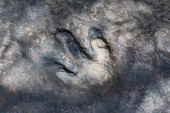 Real dinosaur footprint Stock Photos
