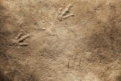 Real Dinosaur fossil Imprint, Dinosaur footprint stock photo