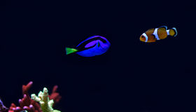 Real Dory and Nemo Royalty Free Stock Images