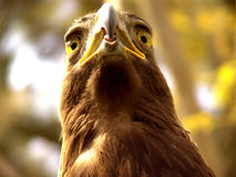 Real Eagle. Close up What's Up?:  a large bird of prey with a massive hooked bill and long broad wings, known for its keen sight and powerful soaring flight. [ Royalty Free Stock Photography