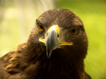 Real Eagle beak. Front close up:  a large bird of prey with a massive hooked bill and long broad wings, known for its keen sight and powerful soaring flight. [ Royalty Free Stock Photos
