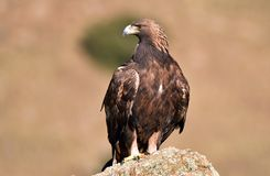 Real eagle observes from his innkeeper. A real eagle observes from his innkeeper stock images