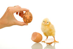 Real estate concept. Little chicken needs a new home - real estate concept Royalty Free Stock Images