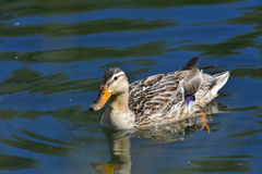 Real female mallard swims. On the lake in spring Stock Photos