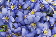 Real first european springs flowers background Royalty Free Stock Photos