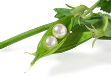 Real fresh water pearls in fresh pea pod Royalty Free Stock Image