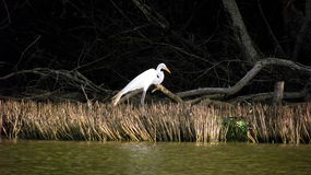 Real Garza among mangroves royalty free stock photography