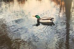 Real german bird. Swimming in a lake Stock Photo