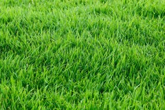 Real grass for pattern and background Royalty Free Stock Images