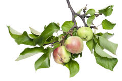 Real green apples on a branch with leaves Stock Photos