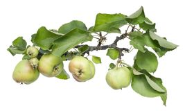 Real green apples on a branch with leaves Stock Photo