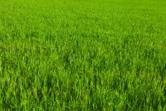 Real green grass background Royalty Free Stock Photo