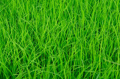 Real green grass blackgroud. Show green concept Royalty Free Stock Photo