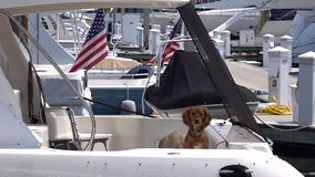 Real guards. Two funny dogs on the american boat. stock video