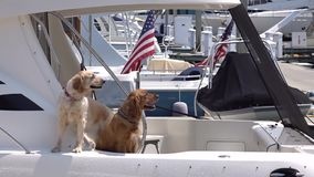 Real guards. Two funny dogs on the american boat. stock footage