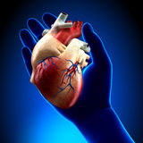 Real Heart in Blue Hand. S - Holding Heart concept Royalty Free Stock Photos