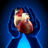 Real Heart in Hands. Real Heart in White Hands - Blue concept Royalty Free Stock Photo