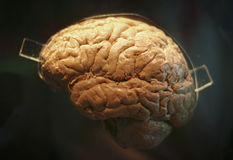 Real human brain. On display at a science laboratory Royalty Free Stock Photography