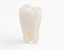 Real Human Wisdom tooth Royalty Free Stock Photography