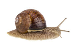 Real isolated  live  snail Stock Photo