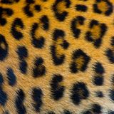 Real jaguar skin Royalty Free Stock Photo