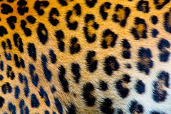Real jaguar skin Royalty Free Stock Photography