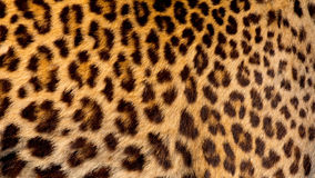 Real jaguar skin royalty free stock images