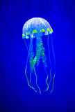 Real jellyfish on a blue Stock Photos