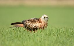 Real kite observes from the crops Royalty Free Stock Photo