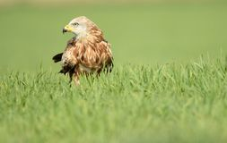 Real kite rests on the crops. A real kite rests on the crops Stock Image