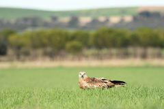 Real kite rests in the fields Stock Photography