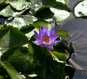 Real lake with lotus flowers, wild nature oriental Stock Photography