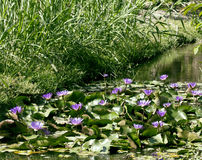 Real lake with lotus flowers, wild nature oriental Royalty Free Stock Photo