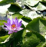 Real lake with lotus flowers, wild nature oriental Royalty Free Stock Images