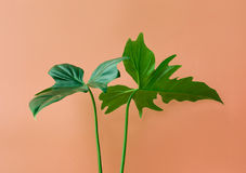 Real leaves on pastel color background.Botanical tropical Stock Photo