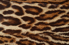 Real leopard fur background Royalty Free Stock Image