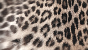 Real Leopard fur. Closeup for background user Royalty Free Stock Photo