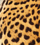 Real Leopard Skin Stock Photography