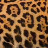 Real Leopard Skin for background royalty free stock image