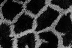 Real life Giraffe pattern Stock Images