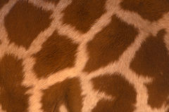 Real life Giraffe pattern Stock Image
