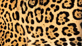 Real Live Jaguar Skin Fur Texture Background Stock Image