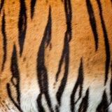 Real Live Tiger Fur Stripe Pattern Background. Panthera Tigris Royalty Free Stock Images