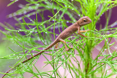 Real lizard resting on a wet green leaf with blur background. Real lizard resting on a wet green leaf for background Stock Photography