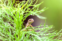 Real lizard resting on a wet green leaf. With blur background Stock Images